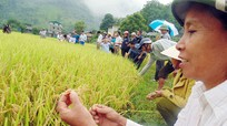 Giống lúa Nhật Bản trên đất khó Kỳ Sơn