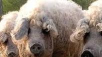 Món thịt lợn ngon nhất thế giới ở Hungary