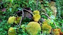 Nghệ An: Xôn xao gốc mít lạ bị chặt thân cây, bỗng ra quả chi chít
