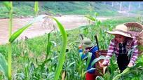 'Mót' bãi bồi ven hồ thủy điện để trồng ngô