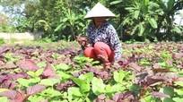 Nông dân tăng thu nhập trong mùa hè từ các loại rau mát