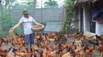 Lợn hơi xuống giá, nuôi gà thả vườn vẫn thu lãi cao