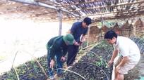 Cây dược liệu - 'thuốc' chữa bệnh nghèo ở Quế Phong