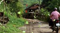 Bướm bay rợp đường ở miền Tây xứ Nghệ