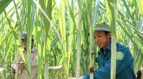 Công ty CP mía đường Sông Con hỗ trợ người trồng mía vốn vay
