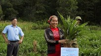 Đầu tư gần 1,5 tỷ đồng trồng cây hương bài tại Quỳ Hợp