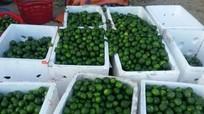 Nắng nóng, mỗi ngày có 100 tấn chanh ở Nghệ An 'ra Bắc'