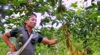 Giá chanh leo 4.000 đồng/kg, nhà máy có 'làm khó' nông dân?