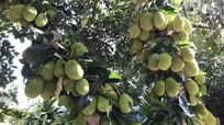 Ngạc nhiên với cây mít có 400 quả