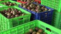 Điều chỉnh giá thu mua chanh leo ở Nghệ An