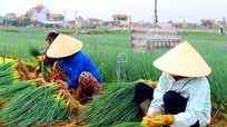 Hành hoa lên giá, nông dân thu nhập 150 triệu/ha