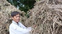 Nắng nóng, nông dân đổ xô đi nghiền cây khô làm thức ăn cho gia súc