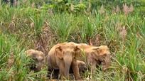 Theo dấu chân voi rừng Nghệ An