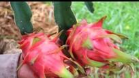 Loài 'cây rồng' chống hạn cho thu nhập cao ở Anh Sơn