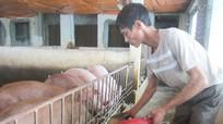Giá lợn 'nhảy múa' và việc tái cơ cấu ngành chăn nuôi