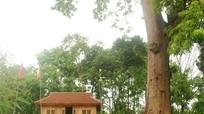 Chiêm ngưỡng cây lim 1.000 năm, cao 45 mét