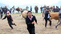 Những pha chọi trâu bò nguy hiểm ở Nghệ An
