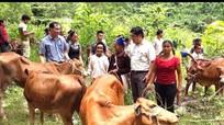 Trao 32 con bê giống cho các hộ dân Đan Lai