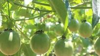 Nghệ An: Mừng và lo khi bổ sung quy hoạch cây chanh leo