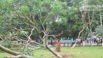 Hàng trăm cây xanh bị gãy đổ ở khu di tích Kim Liên