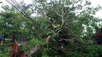 Công ty Công viên cây xanh TP Vinh thừa nhận chủ quan trước bão