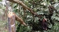 Người trồng cao su Nghệ An điêu đứng vì bão số 2