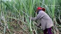 Tân Kỳ: Chăm sóc gần 4.000 ha mía bị đổ sạp sau bão