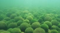 Loài tảo được người Nhật xem như báu vật tự nhiên