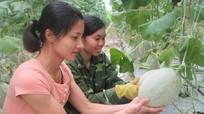 Nông dân Con Cuông lần đầu trồng dưa Mỹ trong nhà lưới