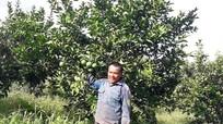 Hiệu quả từ trồng cam theo quy trình VietGAP