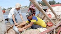 Ngư dân Nghệ An nhộn nhịp vớt 'lộc trời'