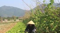 Nghệ An: gieo trồng 40.650 ha cây vụ Đông