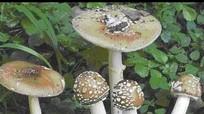 9 loài nấm độc thường gặp