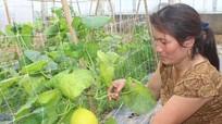 Trồng dưa Kim hoàng hậu trong nhà lưới thu nhập cao