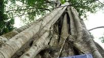 'Điểm danh' cây trăm, nghìn tuổi ở Đền Vạn