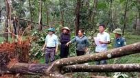 Nghệ An: 100 ha cao su gãy đổ do lốc xoáy gây thiệt hại lớn
