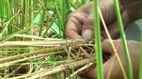Kỳ Sơn: Lúa rẫy chết hàng loạt đe dọa an ninh lương thực