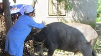 Hàng chục trâu, bò bị chết do dịch tụ huyết trùng ở huyện vùng cao