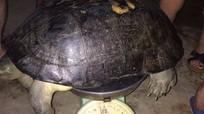 Nghệ An: Bắt được cụ rùa 'khủng' trăm tuổi bò trên đường