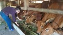 Cảm nắng, cảm nóng ở trâu bò và biện pháp phòng trị