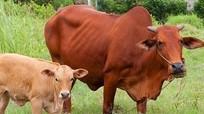 Đầu mùa mưa cảnh giác bệnh chướng hơi dạ cỏ ở gia súc