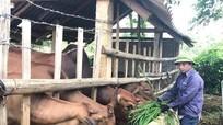 Trồng cỏ nuôi bò cho thu nhập cao