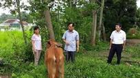 Trao bò giống sinh sản cho hộ nghèo ở Quế Phong
