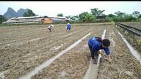 Anh Sơn gieo trỉa lại 650 ha ngô đông sau bão
