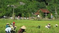 Nghệ An: Lúa mùa một giống trên cánh đồng lớn đạt năng suất cao