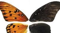 Phát hiện gene kiểm soát màu sắc, hoa văn trên cánh bướm