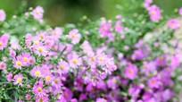 Quyến rũ những loài hoa gợi sắc thu