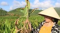 Nguy cơ mất mùa nghệ vì bệnh vàng lá, thối củ ở Hoàng Mai