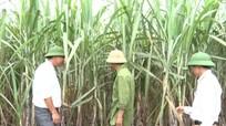 Công ty mía đường Sông Con ứng dụng tiến bộ kỹ thuật vào trồng mía