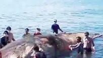 Xác cá voi hơn 13m trôi dạt ở biển